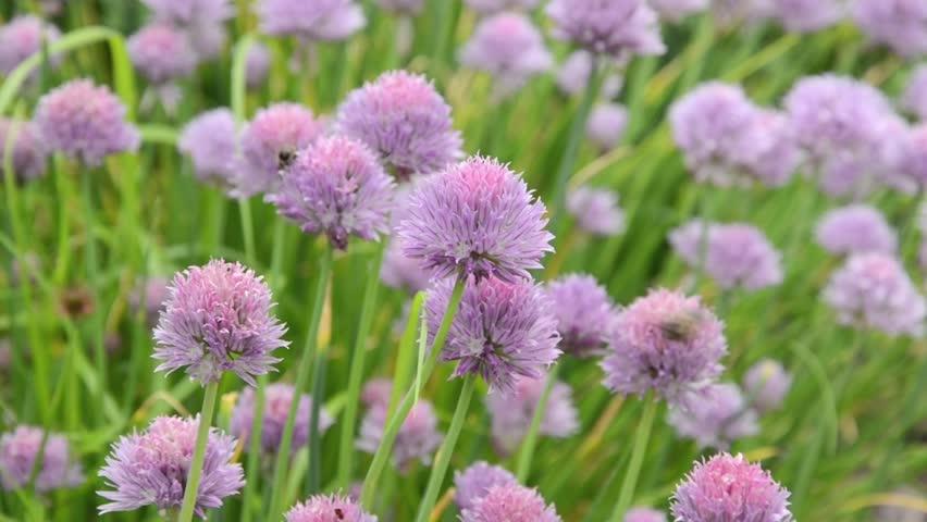 Header of Allium Schoenoprasum