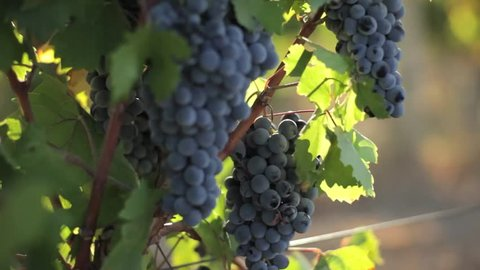 Bunches of Red Grapes Hanging.