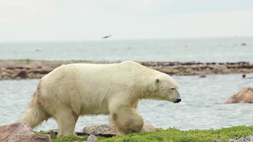Canadian Polar Bear walking along the shore of the Hudson Bay near Churchill, Manitoba, in summer