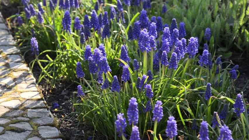 Armenian Grape Hyacinth Muscari Armenia