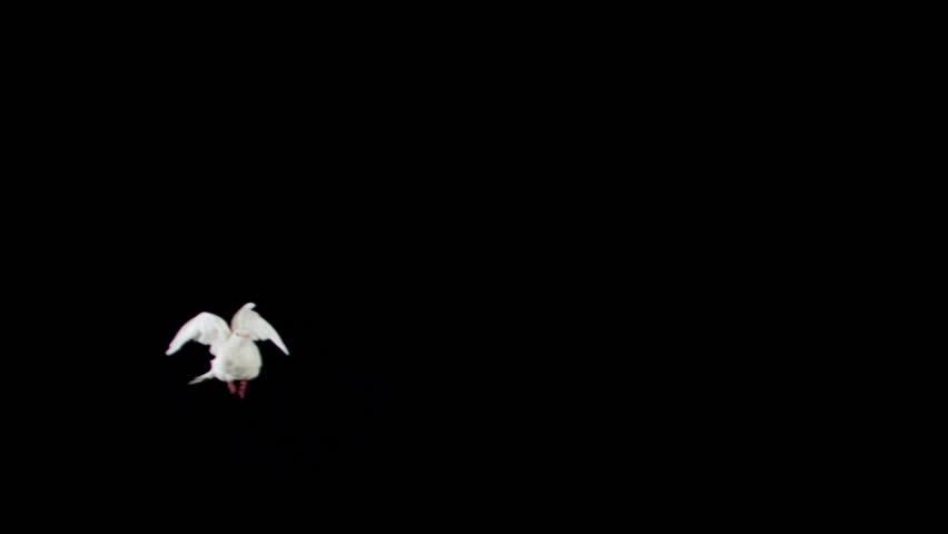 White bird flapping on black background shooting with high speed camera, phantom flex. | Shutterstock HD Video #4629512