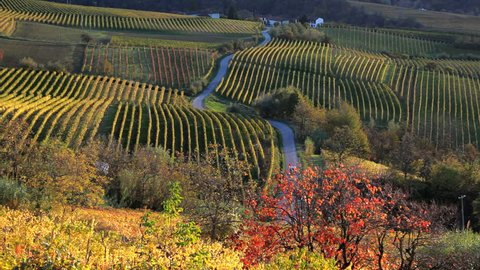 A car drives on a windy road through beautiful vineyard fields with colorful foliage near Piedmont, Italy