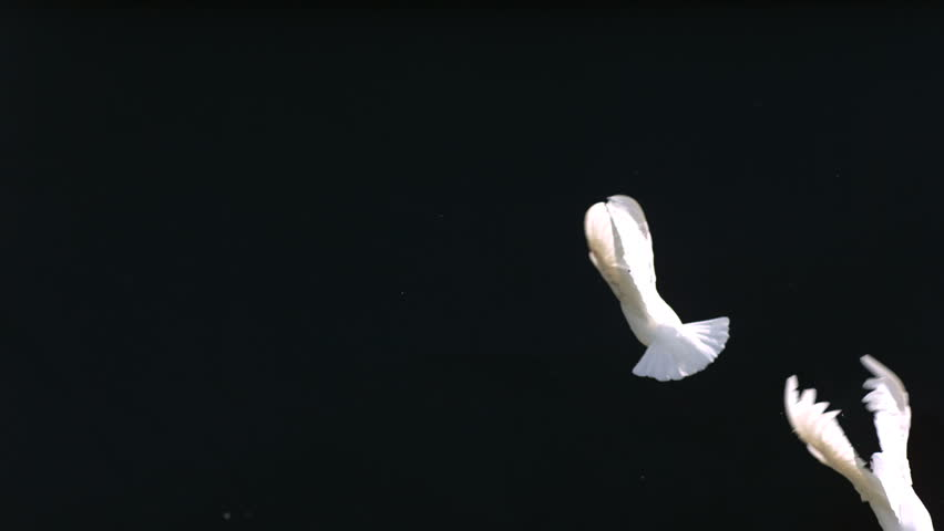 Doves fly against black background, slow motion #4655945