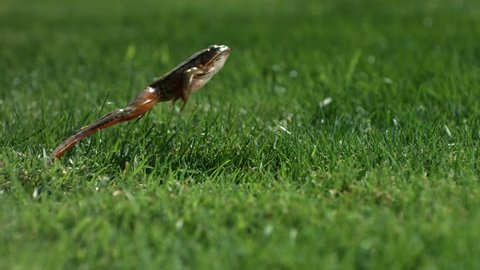 Frog jumping in grass, slow motion