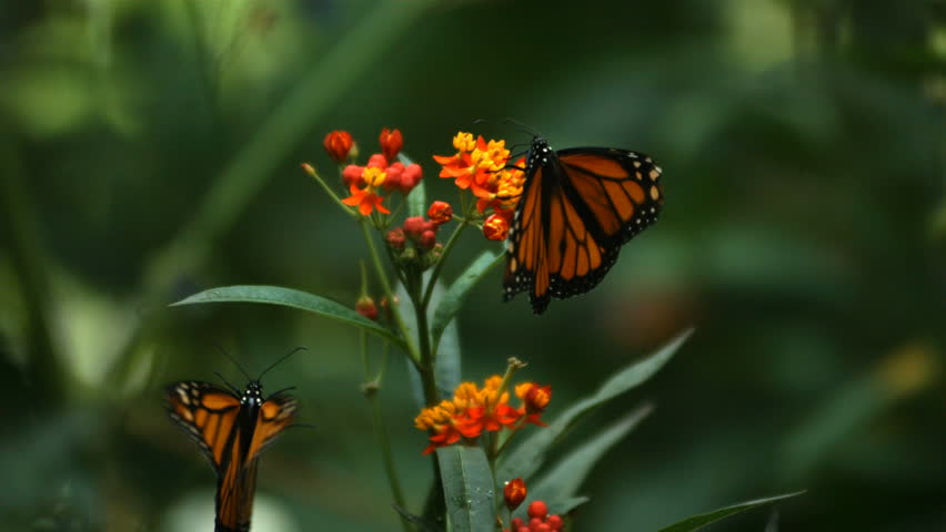 Monarch Butterfly, slow motion | Shutterstock HD Video #4662050