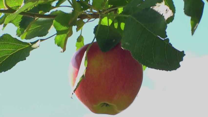 tasty apple is falling down from the apple tree