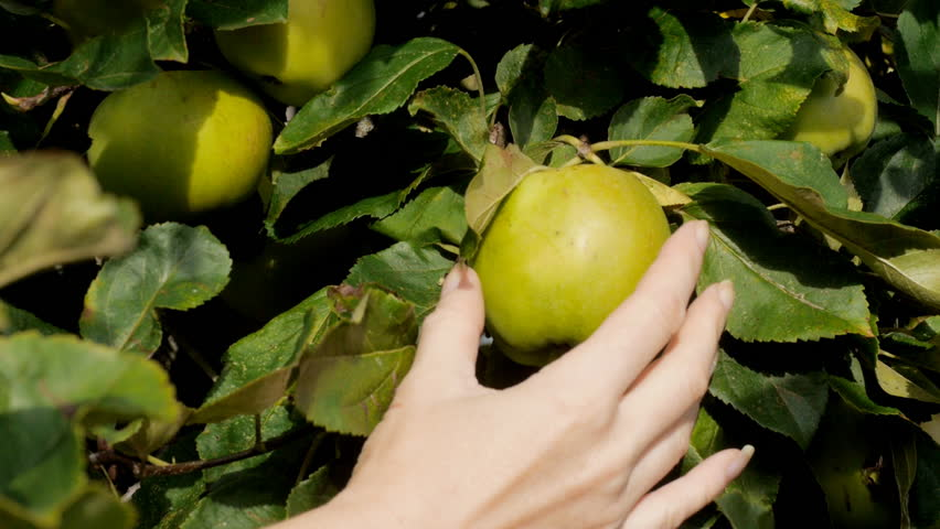 Woman picking apple