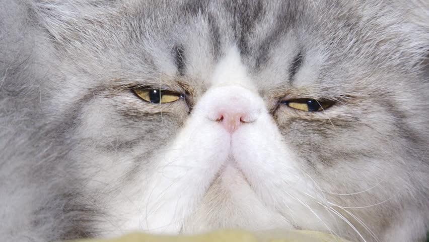 close-up - funny purebred cat #4782863