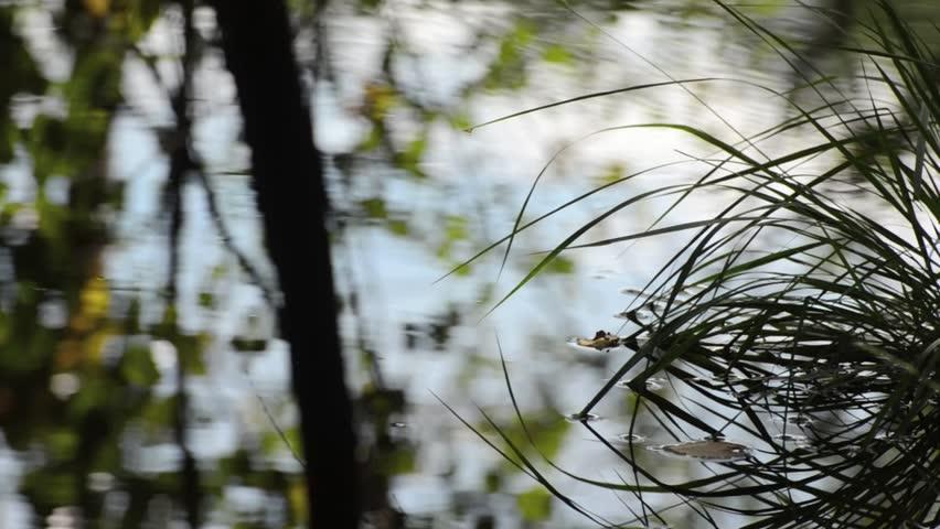 Water reflections in an alder swamp forest | Shutterstock HD Video #4797437