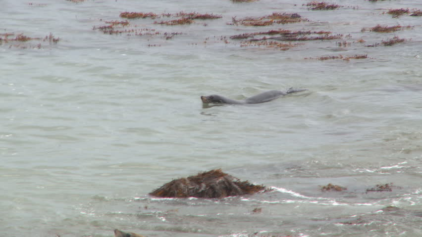 Seals frolic in calm sea water just off some rocks