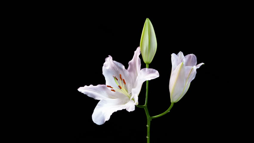 Time lapse video of bunch of white lilies opening on black background.