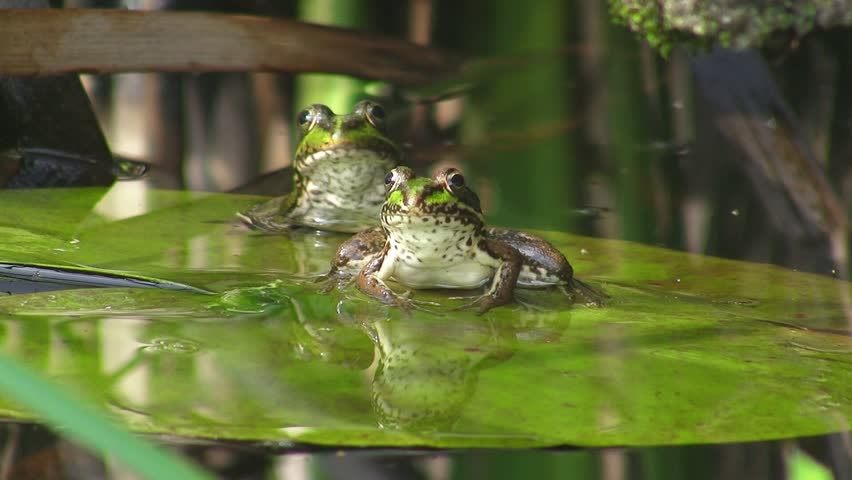 Frogs on water lily | Shutterstock HD Video #486067
