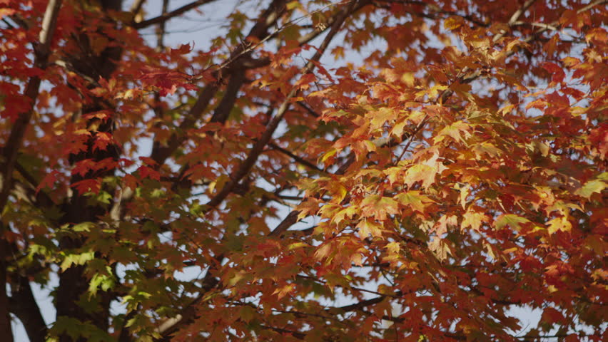 B Roll of the leaves just as they were starting to turn. Full 1080p HD Video! 4k RAW file available upon request.