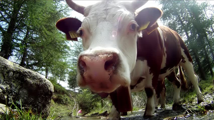 portrait of cow, extreme close up