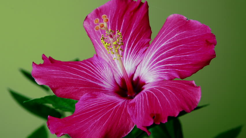 Timelapse Of A Red Hibiscus Stock Footage Video 100 Royalty Free 4919987 Shutterstock