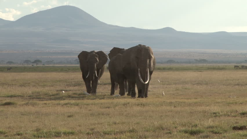 elephants walking streight towards the camera with hills in the background.
