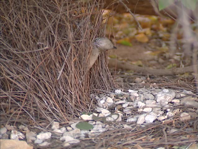 Great Bowerbird (chlamydera nuchalis) maintaining his bower scattered with white stones  - close up. Only a male with a successful bower can attract mates.