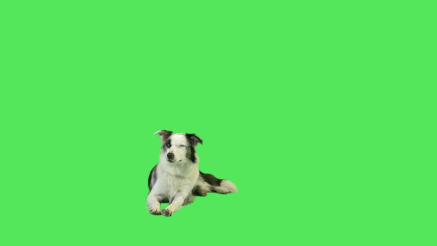 Barking dog in green screen studio