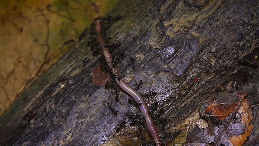Ants Attack A Worm Transport It In The Jungles Of Borneo Interesting Behavior