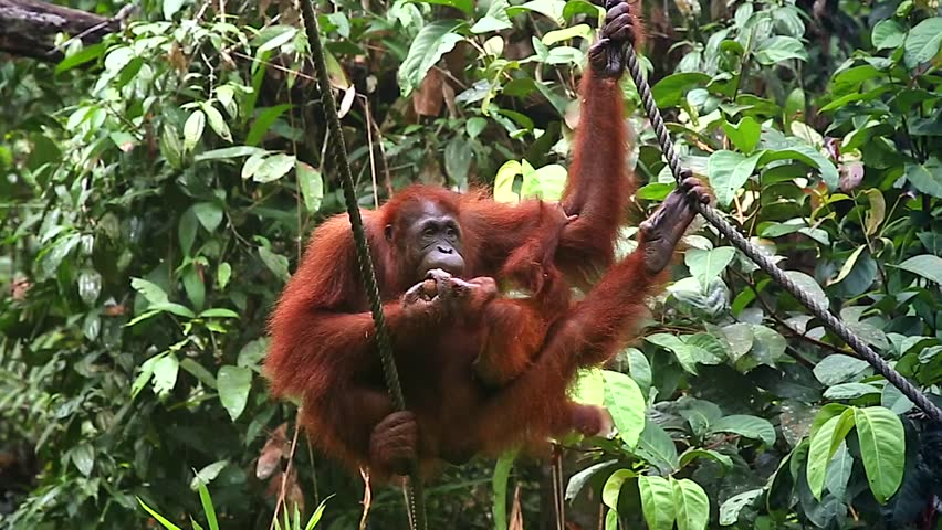 A wild Endangered female Orangutan (Pongo pygmaeus) and her baby play and eat in the jungles of Malaysia, Borneo. Semenggoh Nature Reserve rehabilitates wild apes in open forest. Mom feeds & kisses.