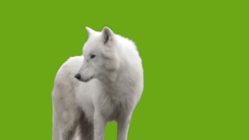 White Wolf howls - green screen