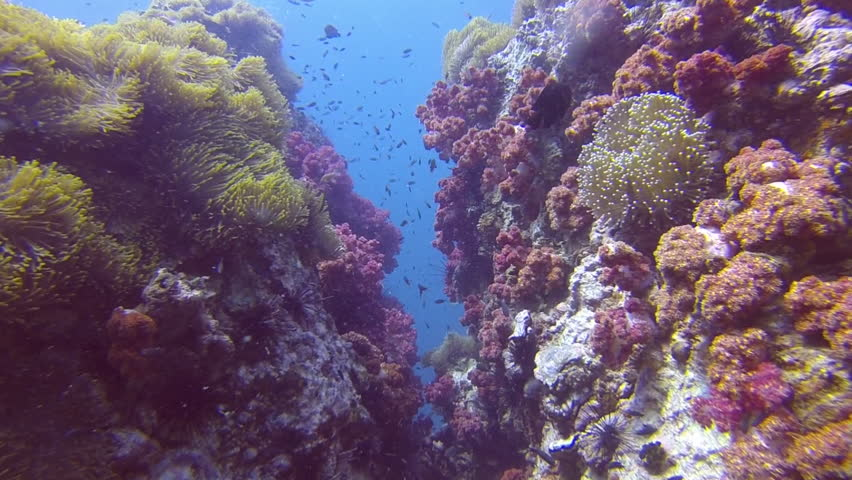 Tropical Coral reef, Underwater shot. Anemones and Soft Corals, Vibrant Colors. Beautiful underwater clip.