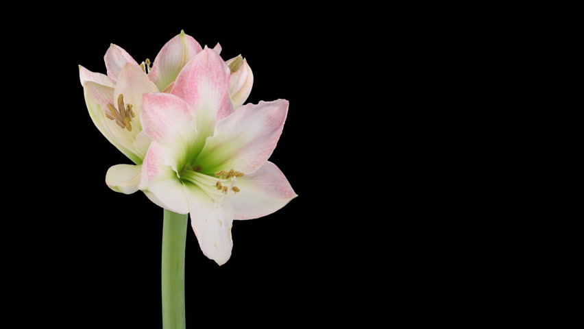 """Time-lapse of opening amaryllis """"Apple Blossom"""" Christmas flower 5x1 in PNG+ format with ALPHA transparency channel isolated on black background"""