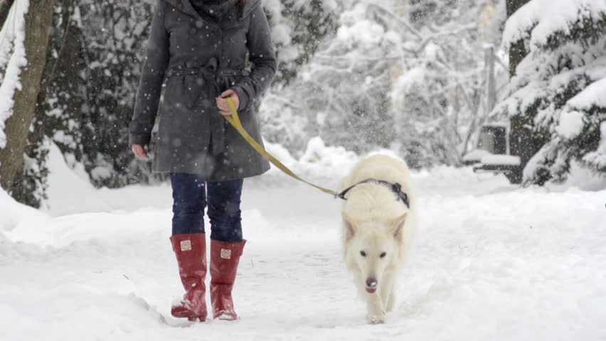 Slow Motion Front View Of White Swiss Shepherd Dog On The Walk On A Snowy Winter