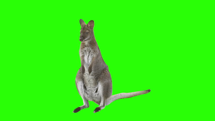 Kangaroo in front of green screen looks at the camera and hops right leaving the scene. Shot with red camera. Ready to be keyed.