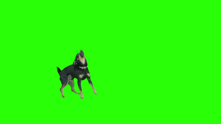 Pack of two. Black small dog exits frame jumping arround excited on green screen. Shot with Red camera. Ready to be keyed.