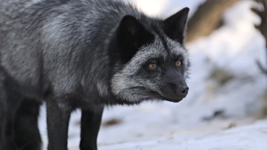 Stock Video Clip Of A Silver Fox Wanders Around It Woodland Shutterstock
