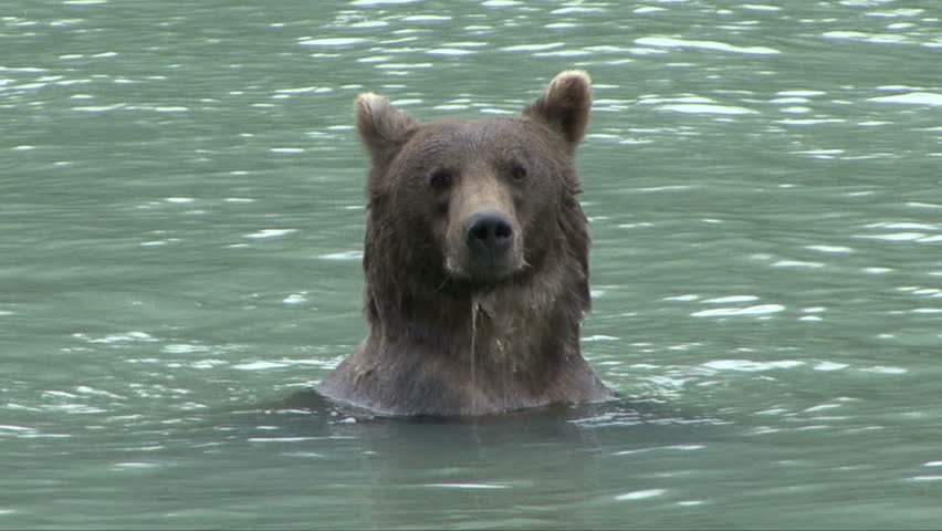 A brown bear's head shows above the water