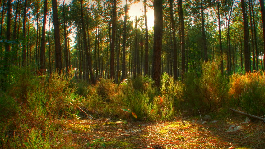 Sunset beams through trees in forest, HD motorized time lapse clip, high dynamic range imaging