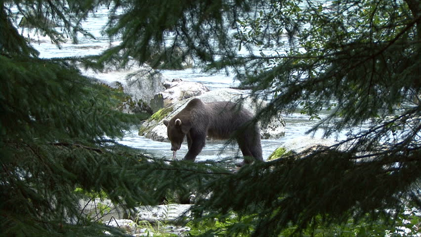 A brown bear is framed by spruce trees as it eats a salmon
