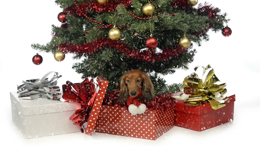dachshund in a gift box at the foot of a christmas tree hd stock video - Christmas Tree In A Box
