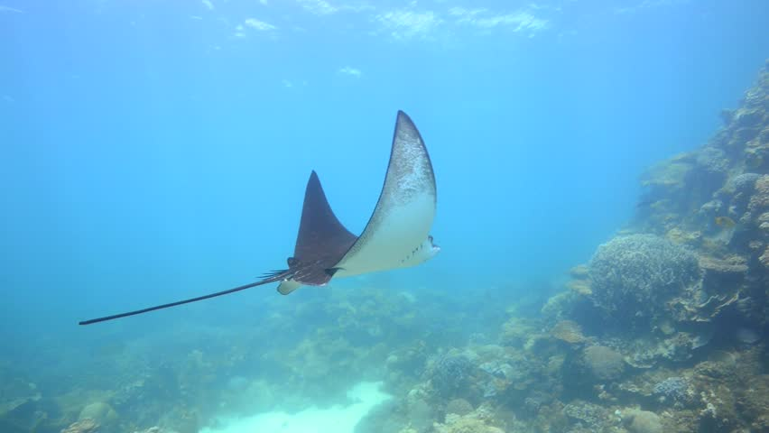 beautiful eagle ray swims past camera (Aetobatus Narinari)