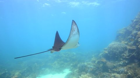 beautiful eagle ray swims past camera (Aetobatus Narinari)