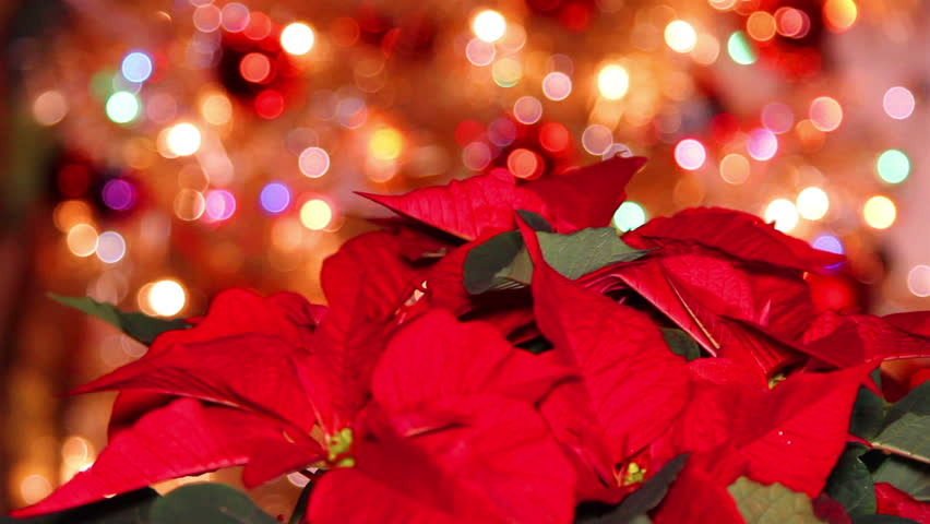 Red Poinsettia Or Christmas Flower With Light Effects In The ...