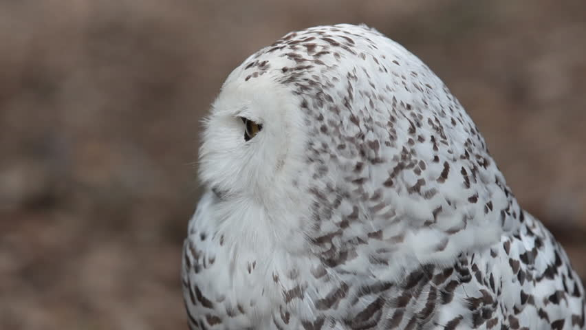 HD footage of a beautiful Snowy owl (Bubo scandiacus) in nature #523507