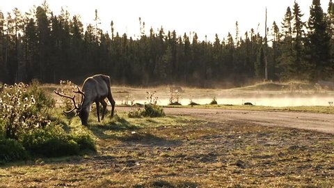A lone caribou grazes in front of a fogged lake with forest background.