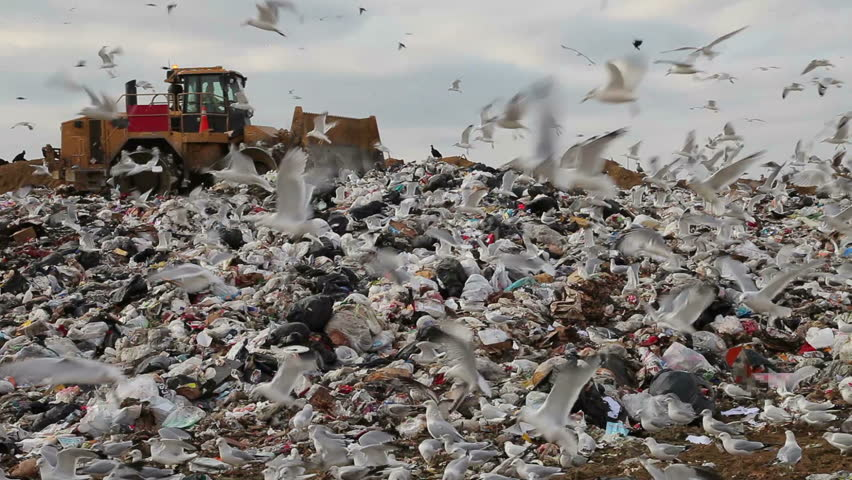 Truck flattening trash in landfill with birds looking for food.