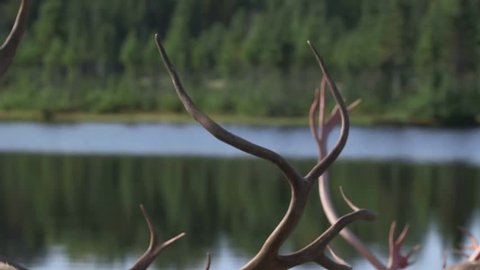 Caribou standing next to a small lake. (Tilt)