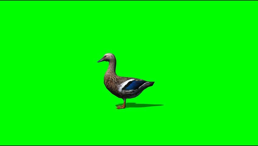 Duck idle Animal green screen Video Footage | Shutterstock HD Video #5273276