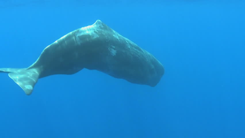 juvenal sperm whale floating and rotating - underwater shot Physeter macrocephalus Azores Island, Pico, Atlantic ocean