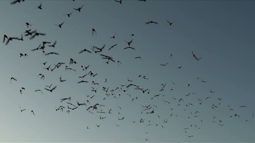 Mexican free tail bats fill early evening sky. 1920x1080