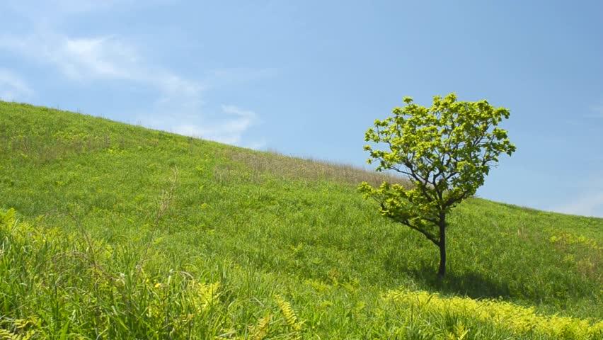 One oak tree on slope of a green hill under blue sky