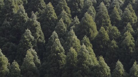 Japanese cedar forest greatly shakes in the wind