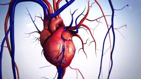 heart, Heart model w/clipping path, Human heart model, Full clipping path included, Human heart for medical study, Human Heart Anatomy