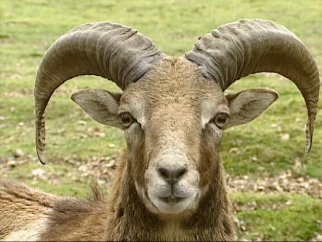 Mouflon ram (Ovis aries orientalis). The mouflon is a subspecies group of the wild sheep Ovis orientalis | Shutterstock HD Video #5379527