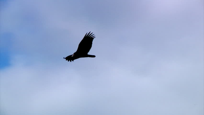 A vulture gently glides through the sky.